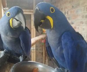 Buy Parrots online | Macaws for sale |Buy Exotic Parrots online | African Grey Parrots for sale