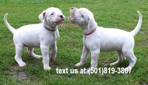 Excellent Dogo Argentino Pups For Sale