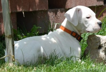 Potty Trained Dogo Argentino Puppies
