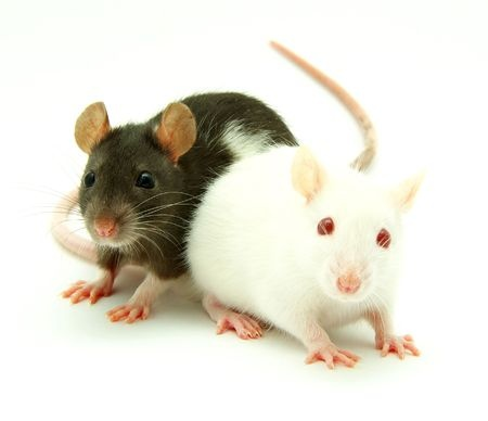 Rodent Control Melbourne
